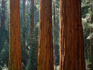 SequoiaRedwoods-MiguelVieira-flickr