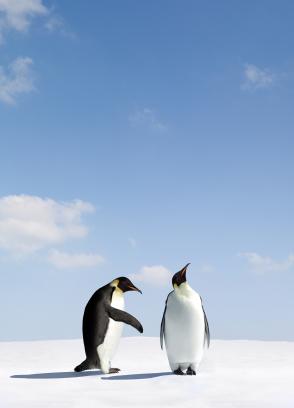 IStock_ignore-penguin